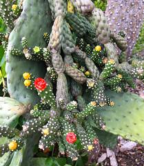Tiny Cacti (hcwolford) Tags: hawaii cacti cactus