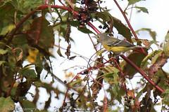 767A8977 (LindaSC) Tags: magnoliawarbler