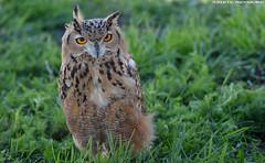 Eurasian Eagle owl - Falconry Fair (Mandenno photography) Tags: animal animals falconry fair falconryfair tilburg ngc nederland nature netherlands nl bird birds roofvogels owl owls eurasian eagleowl