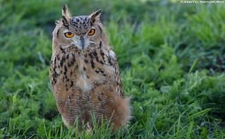 Eurasian Eagle owl - Falconry Fair