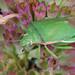 Red-shouldered Stink Bug - Thyanta custator, Meadowood Farm SRMA, Mason Neck, Virginia