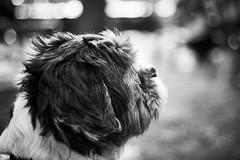 Sheldon (iamunclefester) Tags: münchen munich dog sheldon monochrome blackandwhite dof