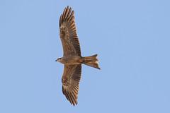 Black Kite (petefeats) Tags: accipitriformes accipitridae australia birds blackkite brisbane milvusmigrans nature oxleycommon queensland bif