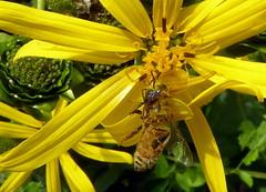 """See the Spider? (mudder_bbc) Tags: """"crabspider"""" """"flowerspider"""" thomisidae camouflage predator spiders arachnids predation yellow jerusalemartichoke bee honeybee"""