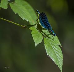 Libellule   au bord du ruisseau (MyLavie) Tags: ruisseau libellule bleu vert ronce feuille nikon myla mylenelavie
