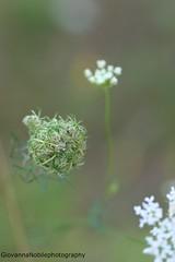 Evanescence (Giovanna-la cuoca eclettica) Tags: natura green flowers concept outdoor stagioni season