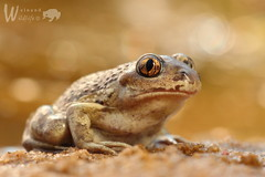 Knoblauchkröte (Pelobates fuscus fuscus) (Weinand Wildlife) Tags: knoblauchkröte braunerkrötenfrosch landunke kartoffelkröte kartoffeltroll protze anura anuran froschlurch lurch amphibia amphibian amphib amphibie amphibium frog toad frosch kröte mesobatrachia pelobatidae pelobates pelobatesfuscus commonspadefoot garlictoad commonspadefoottoad pélobatebrun pelobatefosco rospodellaglio knoflookpad løgfrø grzebiuszkaziemna herps herptile herpetology herpetologie herping wildlife tier animal natur nature sigma150mm makro macro closeup outdoor depthoffield gold animalplanet