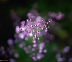 #Thalictrum delavay (My Life in Pictures..) Tags: botanik flower milvus50 ceizz distagon sony