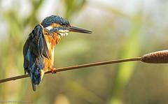 martn pescatore, kingfisher ... (margit-luitpold2005) Tags: explore kingfisher wildlife bird colourful wings feathers beak