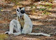 Verreaux's Sifaka (Propithecus verreauxi) (Susan Roehl) Tags: madagascar2017 offtheeastcoastofafrica berentyreserve verreauxssifaka propithecusverreauxi animal mammal white mediumsized indriidaefamily endemic rainforest westernmadagascardrydeciduousforests dryandspinyforests arboreal locomotionongroundhopping sueroehl photographictours naturalexposures panasonic lumixdmcgh4 100400mmlens handheld forest slightlycropped ngc coth5