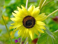 Sunflower 2 (Cornishcarolin. Stupid busy!! xx) Tags: cornwall httpswwwedenprojectcom nature flowers sunflowers plants