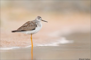Lesser Yellowlegs Testing Water