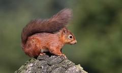 Red Squirrel      (Sciurus vulgaris) (nick.linda) Tags: redsquirrel sciurusvulgaris squirrels mammals wildandfree treestump canon7dmkii sigma150600c
