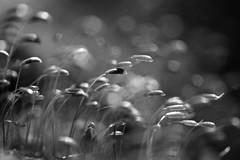 The Wind in the Moss (setoboonhong) Tags: nature outdoor moss macro depth field blur bokeh sunlight breeze sporophytes monochrome bw melbourne botanical garden hmbt