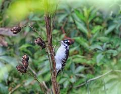 Downy Woodpecker (male) (Steve InMichigan) Tags: downywoodpecker birds michiganbirds northamericanbirds
