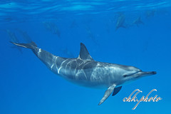 Underwater - a wonderful smiling world (chk.photo) Tags: dolphin nature scuba dive fish water diving tier underwater aegypt tauchen naturemasterclass animal