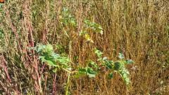 """Flora am Aitrachsee - Flora at the Aitrachsee - Flore à l'Aitrachsee (warata) Tags: 2018 deutschland germany süddeutschland southerngermany schwaben swabia oberschwaben upperswabia schwäbischesoberland """"badenwürttemberg"""" badenwuerttemberg """"samsung galaxy note 4"""" see lake weiher pond aitrach aitrachsee voir kiesgrube flora pflanzen wildpflanzen stechapfel"""