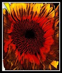 Flame On (DoodleBug.Ink) Tags: sunflower seeds sunflowerseeds orange yellow flower clockwork