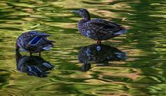 Ententeich (KaAuenwasser83) Tags: enten wasservögel vögel federn wasser spiegelung sonne grün pflanzen bunt ententeich teich see karlsruhe gefieder