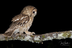 Tawny Owl (Ian howells wildlife photography) Tags: ianhowells ianhowellswildlifephotography nature naturephotography nationalgeographic night canon canonuk wildlife wildlifephotography wales wild wildbird wildbirds tawnyowl tawny owl o