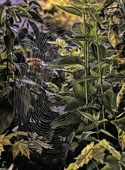 Web In Oil (ITS APPLE HARVEST FESTIVAL!) Tags: web spiderweb inthebackyard large thicket oilpainting