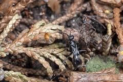 Spider Hunter, Pt. 4 - _TNY_5820 (Calle Söderberg) Tags: macro canon canon5dmkii canoneos5dmarkii 5d2 canonef100mmf28usmmacro flash meike mk300 glassdiffusor raynox dcr250 lycaenidae lycaeninae hair hairy fuzz fuzzy scales thomisidae xysticus audax dipogon variegatus wasp stekel vägstekel insect spider spindel prey reversedroles brynkrabbspindel krabbspindel crabspider pompilidae vedvägstekel aspvägstekel pepsinae pompilidwasp spiderwasp catch babyfood spiderhunter blackwasp predator paralyzed paralyze victim f22 araneae arachnida