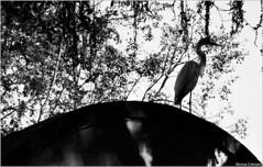 Camuflada Foto: Marcus Cabaleiro Site: https://marcuscabaleirophoto.wixsite.com/photos Blog: http://marcuscabaleiro.blogspot.com.br/ #MarcusCabaleiro #Santos #Brasil #garça #mono #ave #Fotografia #Arte #Brazil #monocolor #reflexo #pássaro #Photography #Ph (marcuscabaleiro4) Tags: mercadodopeixe monocolor black garça reflexo contraste mono photography marcuscabaleiro brasil ave pb nikon santos white blackandwhite bw photographer fotografia brazil monochrome pássaro tonsdecinza arte