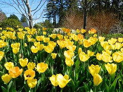 Deep Yellow Tulips (Kennebunker) Tags: flowerthemes spring maine