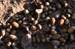 (:Linda:) Tags: germany thuringia village bürden oak acorn