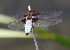 Broad-bodied-Chaser1007 (bcmp49) Tags: odonata dragonflies damselflies bds staffordshire