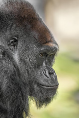 The Scoop on the Troop (San Diego Zoo Global) Tags: animals nature wildlife gorilla westernlowland ape sandiegozoo conservation