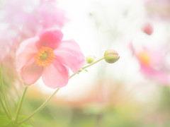 Japanese anemone (Tomo M) Tags: シュウメイギク autumn bokeh light garden nature pink soft pastel dreamy bud tokyo