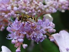 Hover fly Crathes (Ian Robin Jackson) Tags: aberdeenshire nature wildlife scotland august closeups photography scottishwildlife hoverfly britishwildlife