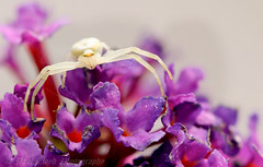 White crab spider (lloydie1963) Tags: explore dx d7200 whitecrabspider macro sigma105mm inexplore insects nikon view closeup