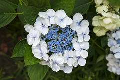 Lacecap Ring (s.d.sea) Tags: hydrangea lacecap flower flowers floral petals garden summer grow plant plants nature outdoors pnw pacificnorthwest washington washingtonstate pentax k5iis klahanie issaquah