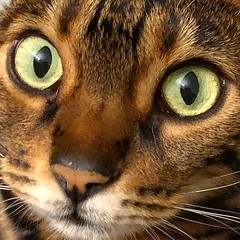 """My tummy growled as I set down breakfast for @neelixthebengal and he freaked out so much he began searching the whole apartment and all windows to find the """"creature"""" that made that menacing sound! 🙀😅😹😂 (tiina2eyes) Tags: my tummy growled i set down breakfast for neelixthebengal he freaked out much began searching whole apartment all windows find """"creature"""" that made menacing sound 🙀😅😹😂 ifttt instagram"""