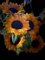 Sunny (kimbar/Thanks for 3.5 million views!) Tags: sunflowers arrangement flowers
