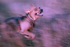 (aandred) Tags: motion gallop run madness euphoria pup puppy ogarpolski polishhound huntingdog eastmanexr200t