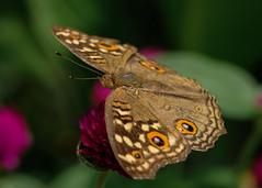 Butterfly macro (billcoo) Tags: bokeh nature xf80mm xf14x fujinon xt2