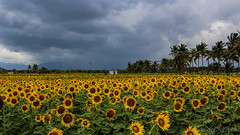 Like hundred suns on earth (Jayfotographia) Tags: sunflower flower tirunelveli tamilnadu india sambavarvadagarai clouds rains monsoon travel canon eoscanon1200d photography jayfotografia jayasankarmadhavadas