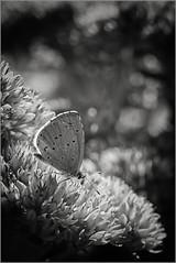 _DSC6586 (Des.Nam) Tags: papillon nb noiretblanc nikon noirblanc noir bw blackwhite monochrome mono nature desnam d7100 macro proxy 105mmf28 silverefex