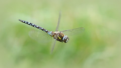 Migrant hawker ~ Aeshna mixta {explored} (Cosper Wosper) Tags: migranthawker aeshnamixta dragonfly flight dentinthehead