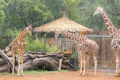 Rain at the African Savanna (shutterbugdancer) Tags: africansavanna giraffe reticulatedgiraffe fortworthzoo rainyday laborday
