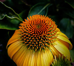 Striking Yellow and Orange Cone Flower (iseedre) Tags: tpswwwflickrcom staticflickrcom4491380325062323d5745704cnjpgwidth320height180altgoal level 4a