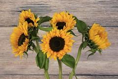 Sunflowers (36/52) (Stu.G) Tags: project52 project 52 project522018 522018 8sept18 8thseptember2018 8th september 2018 september2018 8thseptember 8918 080918 892018 08092018 sunflower sunflowers yellow yellowflowers yellowsunflower canoneos40d canon eos 40d canonef50mmf14usm ef 50mm f14 usm ef50mm ef50mm14 canon50mmf14 england uk unitedkingdom united kingdom britain greatbritain d europe eosdeurope canonspeedlite430exiiflashgun speedlite 430ex ii flashgun canonspeedlite canonspeedlite430exii canonflashgun canonspeedliteflashgun photographystudio photography studio photographyset photographysetsudio softbox