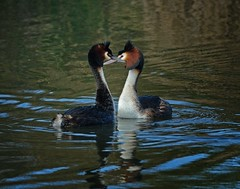 Journeys end in lovers meeting? Crested grebe pair (Maureen Pierre) Tags: mating courtship greatcrestedgrebe pair newzealand bird
