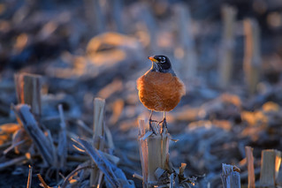 American Robin Adult Male on corn stalk near Kearney, Nebraska