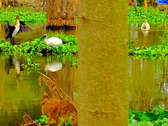 Kenya, Lake Nakuru National Park. Ibis (dimaruss34) Tags: newyork brooklyn dmitriyfomenko image sky svetlanafomenko kenya trees grass lake reflections birds ibis