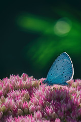 Bleu azur !! (Des.Nam) Tags: papillon azuré bleu blue vert nature desnam nikon nordpasdecalais nord proxy macro 105mmf28 fleur pdc dof bokey