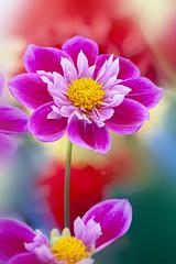Summer Dahlia (Jacky Parker Flower Photography) Tags: dahlia flower pink closeup portraitformat selectivefocus imagefocustechnique flowerphotography floralart beautyinnature freshness fragility vibrant vitality floralfriday summerflower summergarden nikon uk